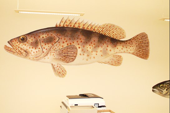 Aller Aqua Grouper on the wall