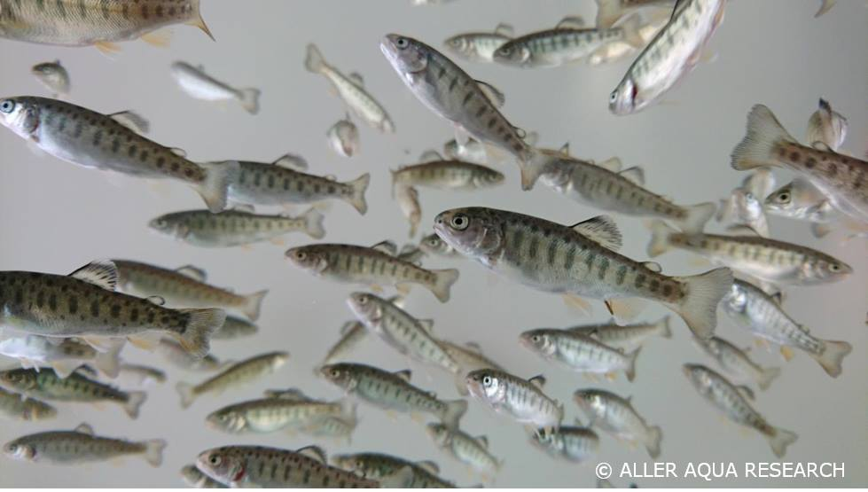 Trout fry at Aller Aqua Research | Aller Aqua and TripleNine cooperation for fish feed for aquaculture
